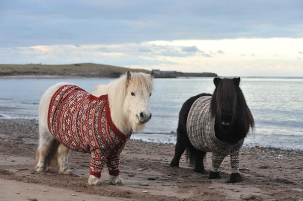 Schottland Ponys