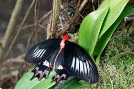Bordano Schmetterling