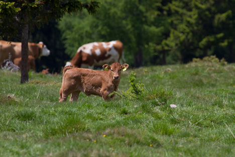 Kühe vom Biohiasl_Foto Matthias Eichinger (6)