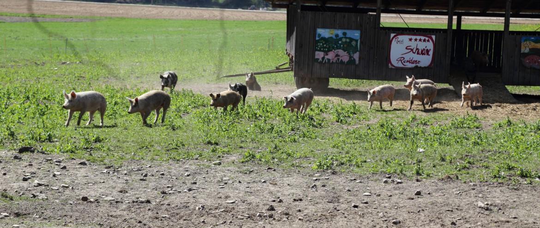 Schweine (5)