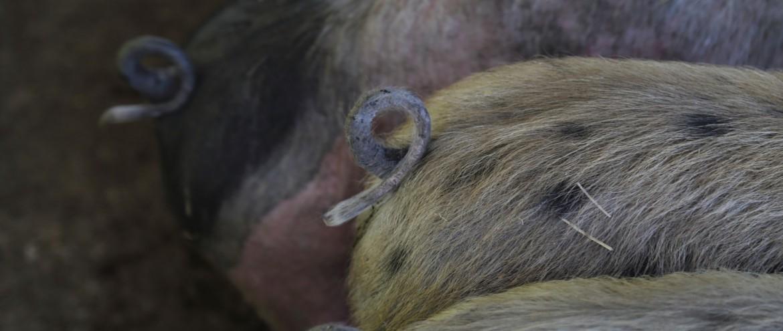 Schweine (8)