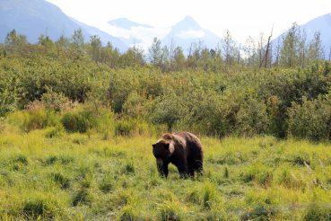 Alaska Bären
