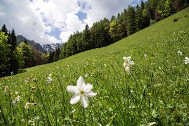 Narzissenwiese, Bärental, Kärnten, Österreich, www.anitaaufreisen.at