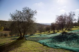 Olivenernte in der Toskana, Foto Anita Arneitz