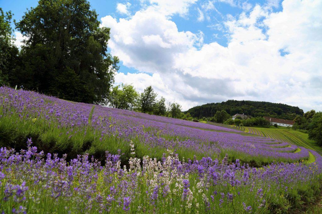 Lavendelfelder in Österreich, Biohof Wunsum, Sulmta-Sausal, Foto Anita Arneitz, Reiseblog www.anitaaufreisen.at