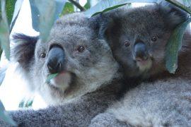 Melbourne und Victoria sind die Heimat der Koalas, erfahre im Blogbeitrag mehr über die Reisedestination und die tierischen Schlafweltmeister. Foto: Visit Victoria