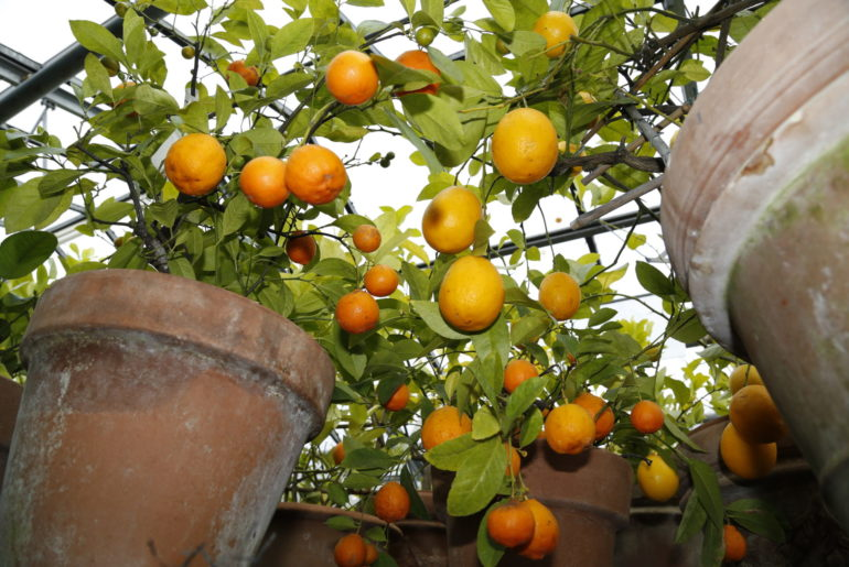 Citrus Meyerii