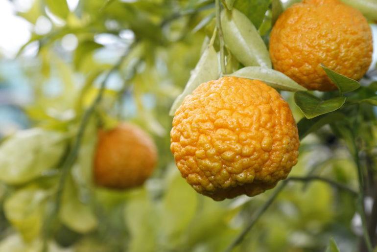 Citrus aurantium Canaticulake