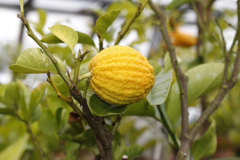 Citrus medica Aurantiala