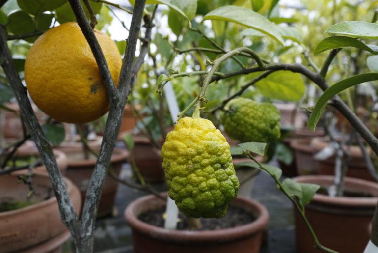 Vielfalt der Zitrusfrüchte
